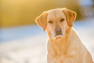 Labrador sitting in the afternoon sunlight, United Kingdom, Europe