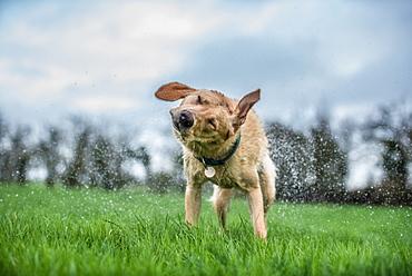 Wet labrador shaking off, United Kingdom, Europe