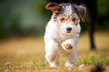 Terrier puppy running, United Kingdom, Europe