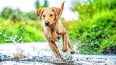 Golden Labrador running through a shallow river, United Kingdom, Europe