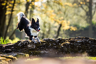 Collie jumping over a fallen tree in the afternoon sunlight, United Kingdom, Europe