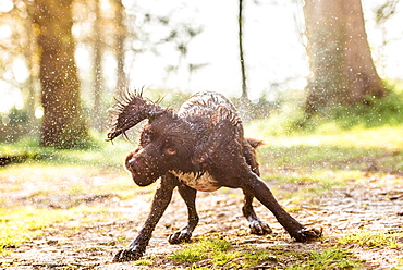 Spaniel shaking off water in the afternoon sunlight, United Kingdom, Europe