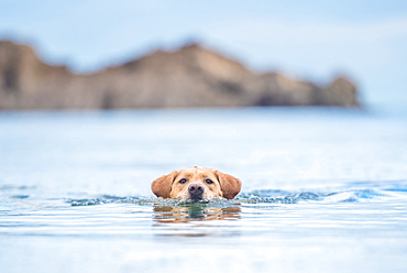 Golden Labrador swimming with only head out of the water, United Kingdom, Europe