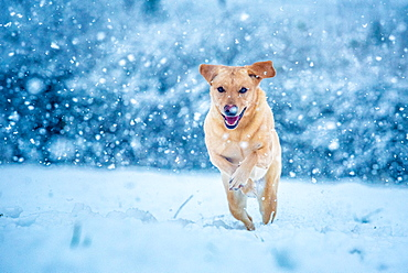 Golden Labrador running through the snow, United Kingdom, Europe