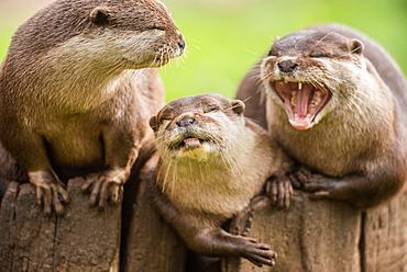 Otters, United Kingdom, Europe
