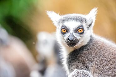 Ring-tailed lemurs, Madagascar, Africa