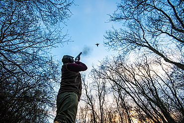 Gun standing in a wood firing at a pheasant flying overhead at sunset, United Kingdom, Europe