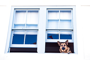 German Shepherd dog in a window, Devon, England, United Kingdom, Europe