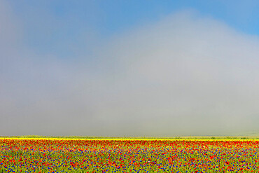 Wildflower meadow of poppies and cornflowers in the morning mist, Monte Sibillini, Umbria, Italy, Europe