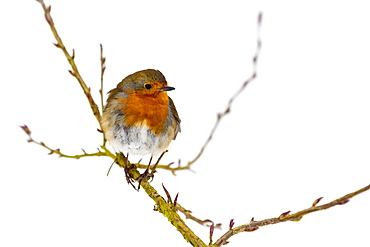 European robin (Erithacus rubecula), in winter, Kent, England, United Kingdom, Europe