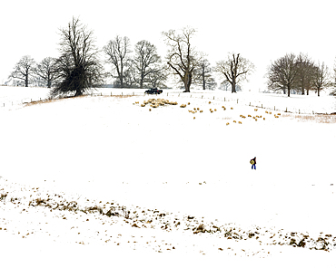 Farmer carrying hay, with sheep, in snow covered field, Kent, England, United Kingdom, Europe