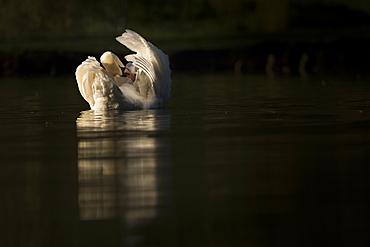 Mute swan (Cygnus olor) preening, Kent, England, United Kingdom, Europe