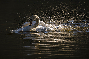 Mute swan (Cygnus olor) bathing, Kent, England, United Kingdom, Europe