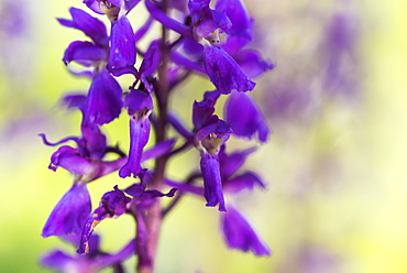 Early-purple orchid (Orchis mascula), close-up of flower, Kent, England, United Kingdom, Europe