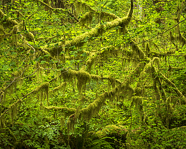 Hoh Rainforest, Olympic National Park, UNESCO World Heritage Site, Washington State, United States of America, North America
