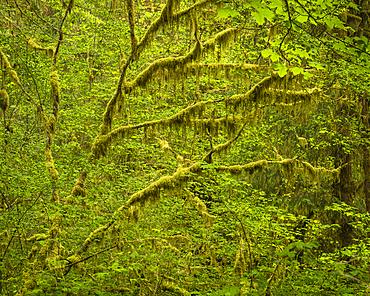 Hoh Rainforest, Olympic National Park, UNESCO World Heritage Site, Washington State, United States of America, North America