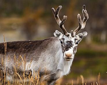 Reindeer (Rangifer tarandus), Kilpisjarvi, Lapland, Finland, Europe
