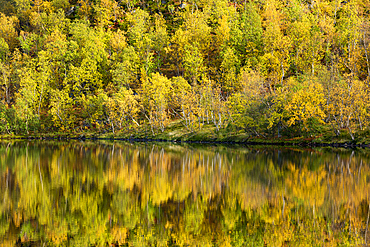 Silver birch (Betula pendula) reflected in lake, autumn colour, Senja, Norway, Scandinavia, Europe