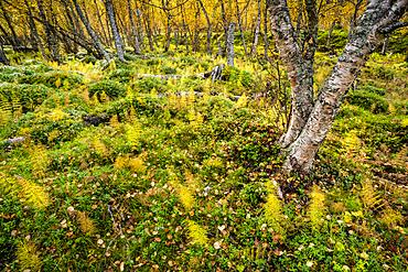 Wood horsetail (Equisetum sylvaticum) in a Norwegian forest, Skibotn, Lapland, Norway, Scandinavia, Europe