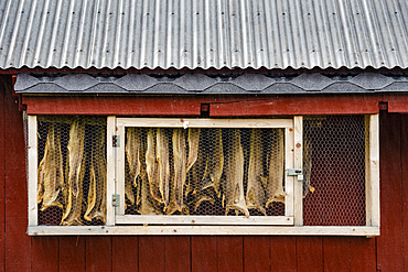 Hanging dried fish, Sandvika, Senja, Norway, Scandinavia, Europe