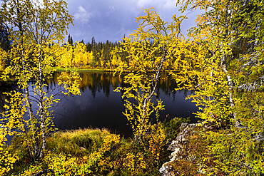 Silver birch (Betula pendula) in autumn colour, Muonio, Lapland, Finland, Europe