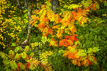 Rowan tree (Sorbus aucuparia) in autumn colour, Ruska, Muonio, Lapland, Finland, Europe