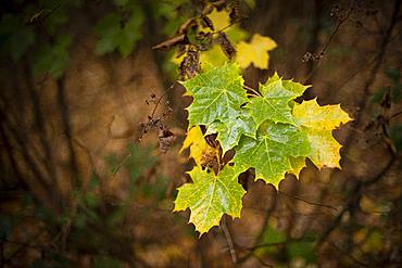 Sycamore (Acer pseudoplatanus) leaves, autumn colour, Kent, England, United Kingdom, Europe