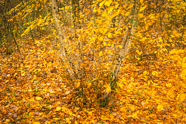 Silver birch (Betula pendula) and hornbeam (Carpinus betulus), multiple exposure, autumn colour, Kent, England, United Kingdom, Europe