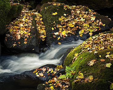 Autumn leaves covering moss covered rocks, Padley Gorge, Peak District National Park, Derbyshire, England, United Kingdom, Europe