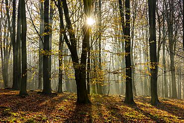 Common beech (Fagus sylvatica) trees, morning sunlight, autumn colour, King's Wood, Challock, Kent, England, United Kingdom, Europe