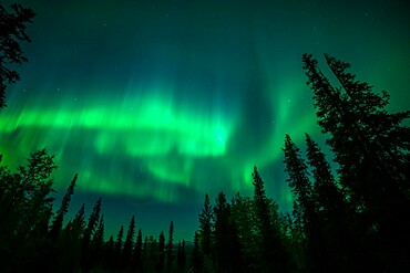 Aurora borealis (Northern Lights) over coniferous forest, Muonio, Lapland, Finland, Europe