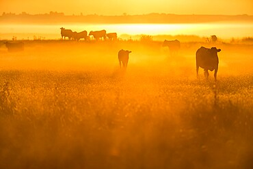 Cattle on grazing marsh at sunrise, Elmley Marshes National Nature Reserve, North Kent Marshes, Isle of Sheppey, Kent, England, United Kingdom, Europe