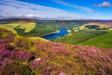 View of Upper Derwent Reservoir and flowering heather in August from Derwent Edge, Peak District National Park, Derbyshire, England, United Kingdom, Europe