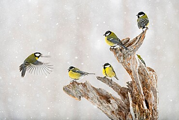 Great tit (Parus major) group, in snowfall, Kuusamo, Finland, Europe