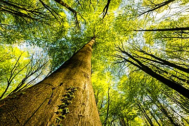 Trunks and canopy of beech trees (Fagus sylvatica), Kent, England, United Kingdom, Europe