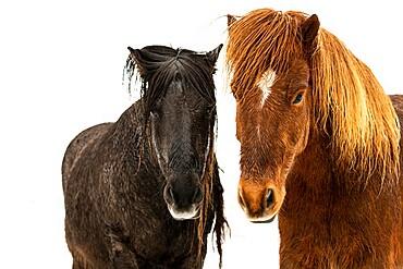 Icelandic horses (Equus ferus caballus), Gullfoss, Iceland, Polar Regions