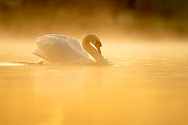 Mute swan (Cygnus olor) at sunrise, territorial behaviour, Kent, England.