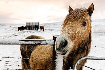 Icelandic horse (Equus ferus caballus), Gullfoss, Iceland, Polar Regions