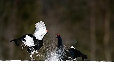 Black grouse (Lyrurus tetrix), fighting, territorial behaviour, Kuusamo, Finland, Europe