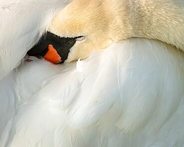 Mute swan (Cygnus olor), kent, England