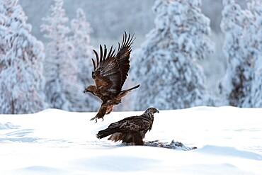 Golden eagle (Aquila chrysaetos) feeding, Kuusamo, Finland, Europe