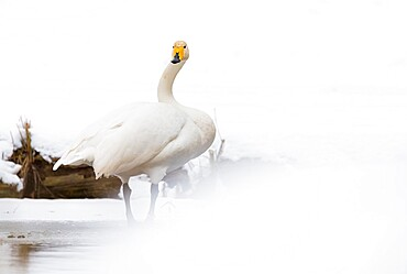 Whooper swan (Cygnus cygnus) in the snow, Kent, England.