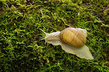 Roman snail (Helix pomatia), Kent, England, United Kingdom, Europe