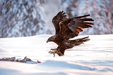 Golden eagle (Aquila chrysaetos) in flight in snow covered landscape, Kuusamo, Finland, Europe