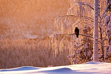 Golden eagle (Aquila chrysaetos) in snow covered tree at sunset, Kuusamo, Finland, Europe