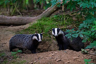 Eurasian Badger (Meles meles) adult, pair standing beside each other, coppice woodland habitat, Kent, England, United Kingdom, Europe