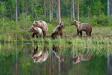 Eurasian brown bear (Ursus arctos arctos) and cubs, Kuhmo, Finland, Europe - 1200-456