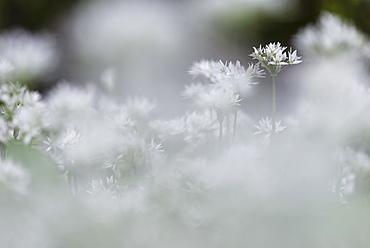 Ramsons (Allium ursinum) flowering mass, growing in coppice woodland habitat, Kent, England, United Kingdom, Europe