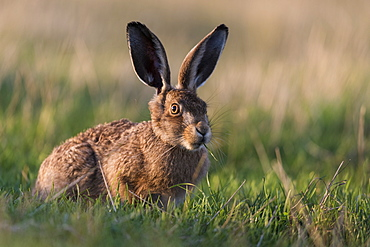 European hare (Lepus europaeus) leveret, Elmley Marshes National Nature Reserve, North Kent Marshes, Isle of Sheppey, Kent, England, United Kingdom, Europe