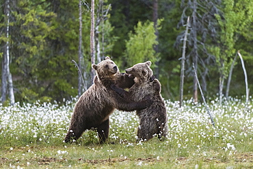 European Brown Bear (Ursus arctos arctos) sub-adults, play fighting on swamp, Suomussalmi, Finland, Europe